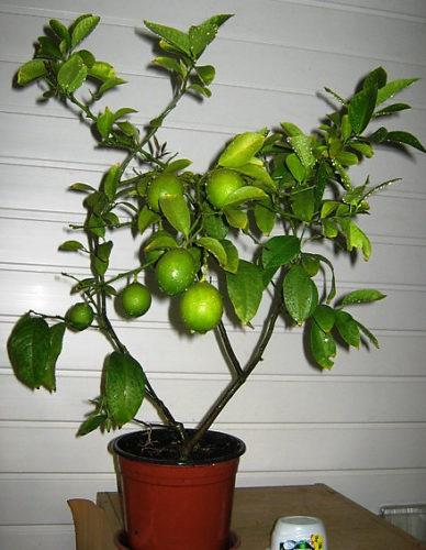 Не плодоносит лимон из косточки в домашних условиях