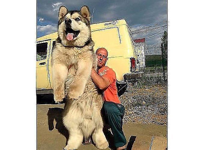 Самый большой аляскинский маламут